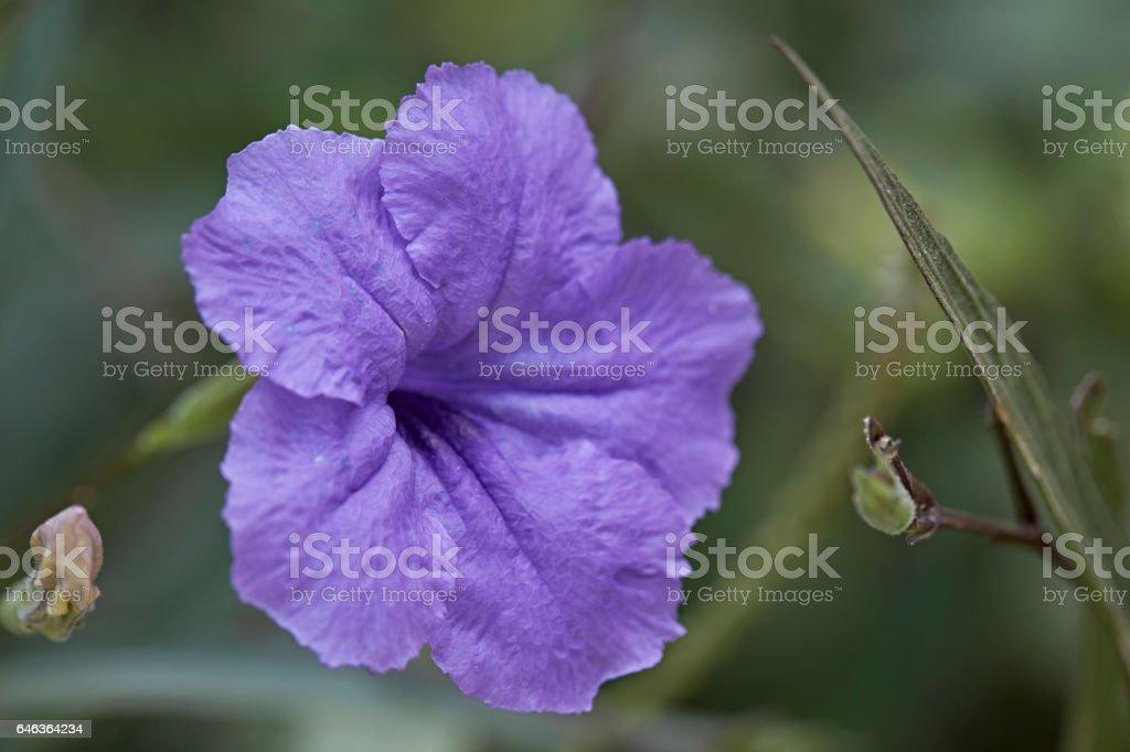 Ruellia Flower stock photo