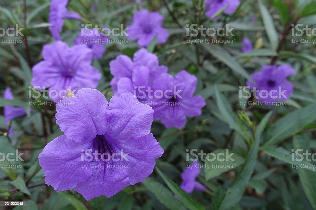 Ruellia tuberosa Blue-violet color stock photo