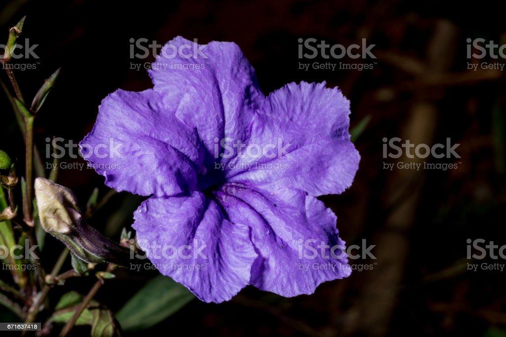 Ruellia tuberosa in the garden stock photo