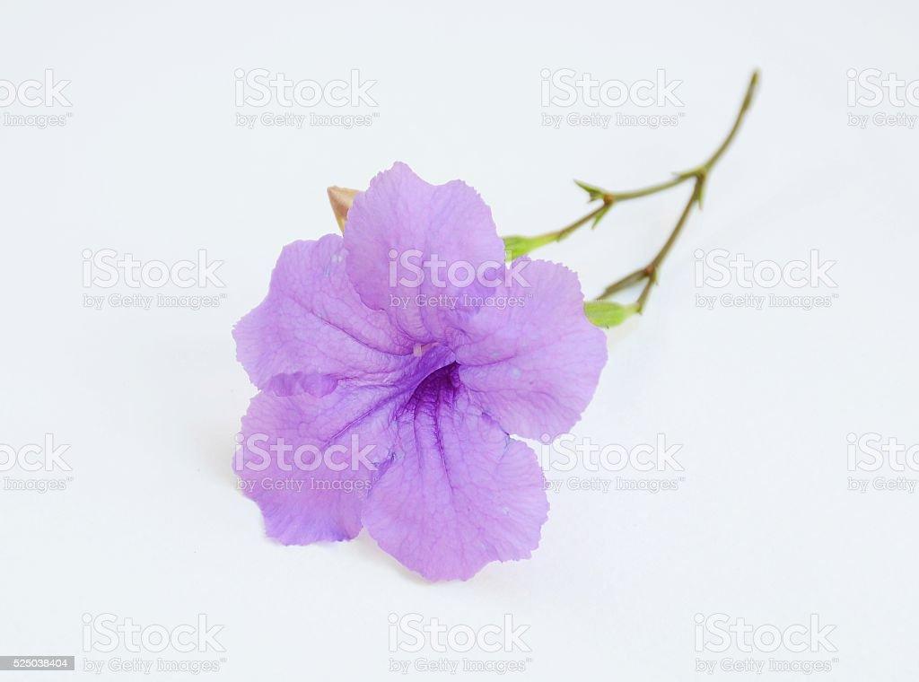 Ruellia tuberosa stock photo