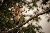 Rufescent tiger heron perched on diagonal branch