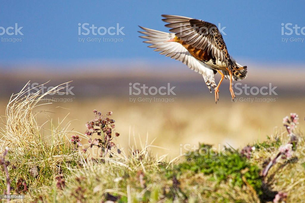 Ruff in breeding plumage jumps up and waves his wings. stock photo