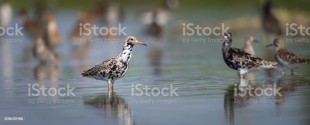 Ruff on a Pond stock photo