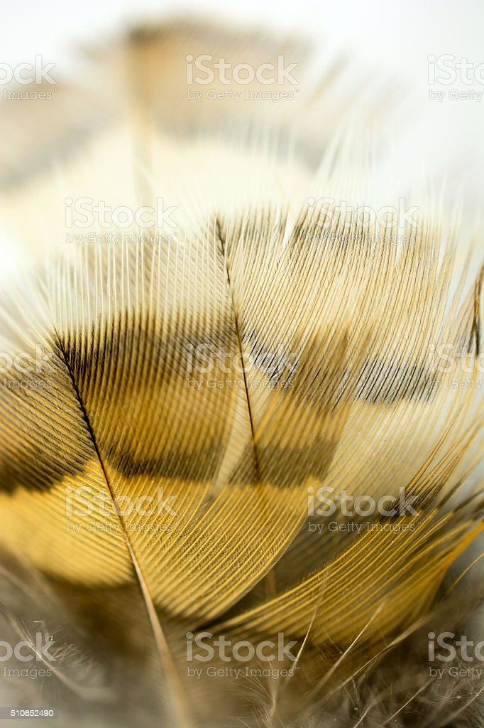 Ruffed Grouse body feathers isolated  on a white background stock photo