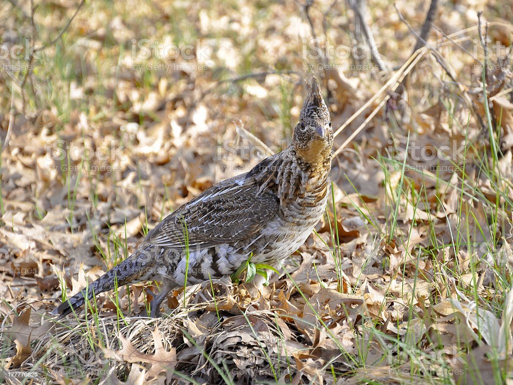 Ruffed Grouse royalty-free stock photo