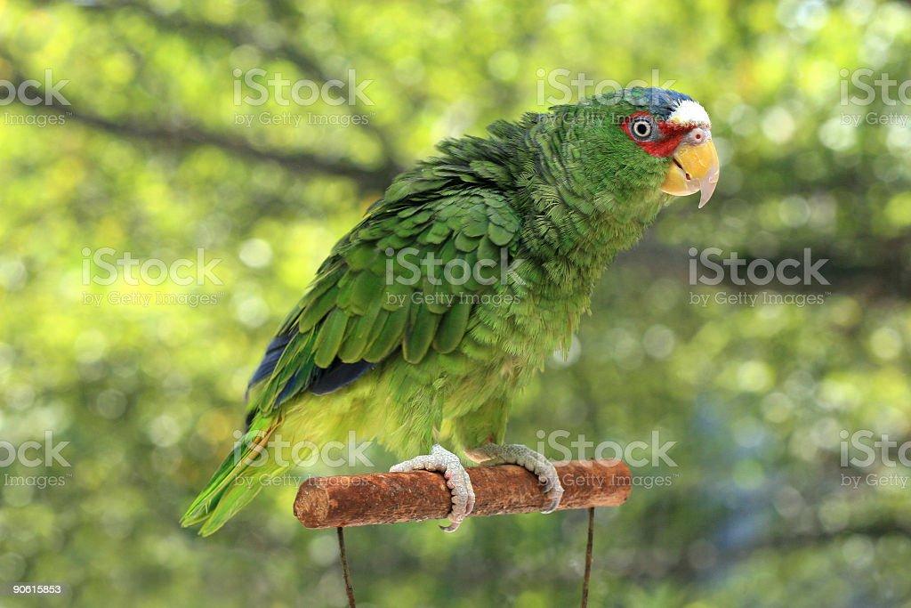 Ruffled Amazonian Parrot royalty-free stock photo