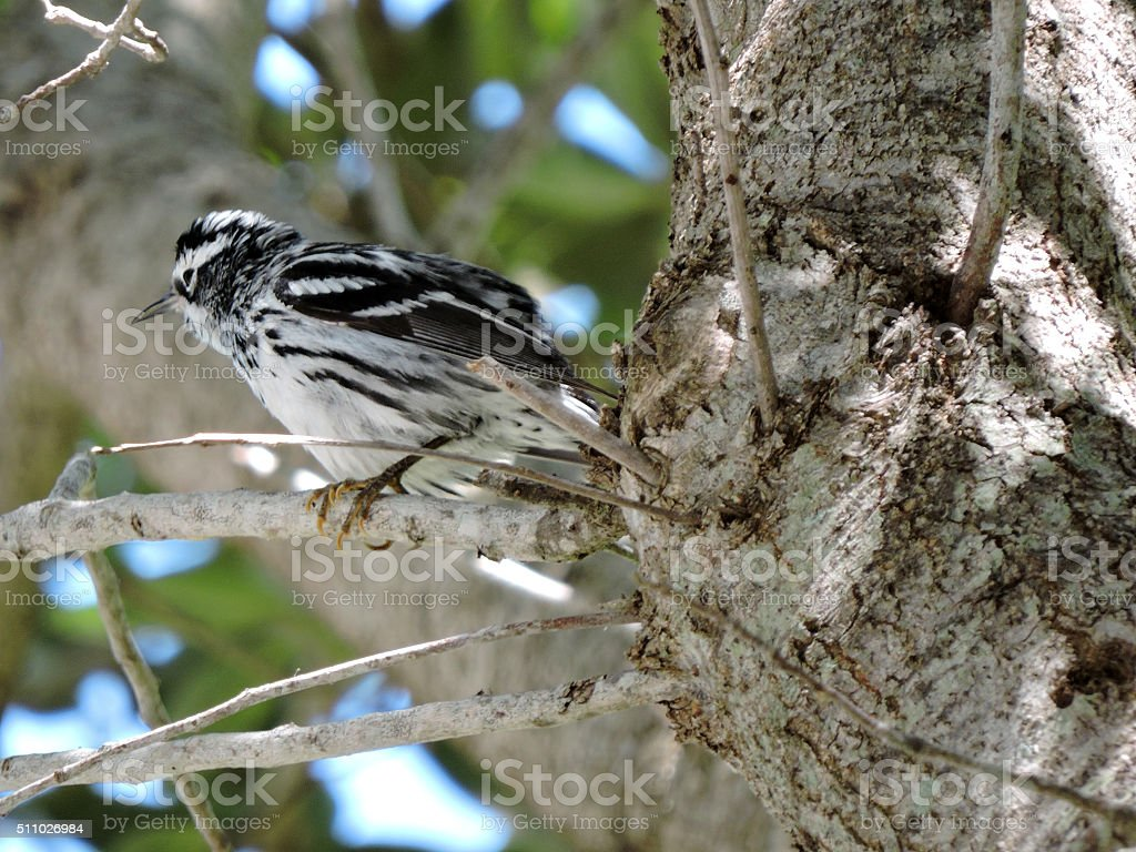 Ruffled Feathers Black-and-White Warbler stock photo