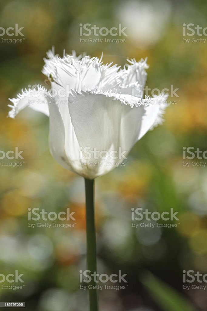 Ruffled frilled parrot tulip white in the spring garden stock photo