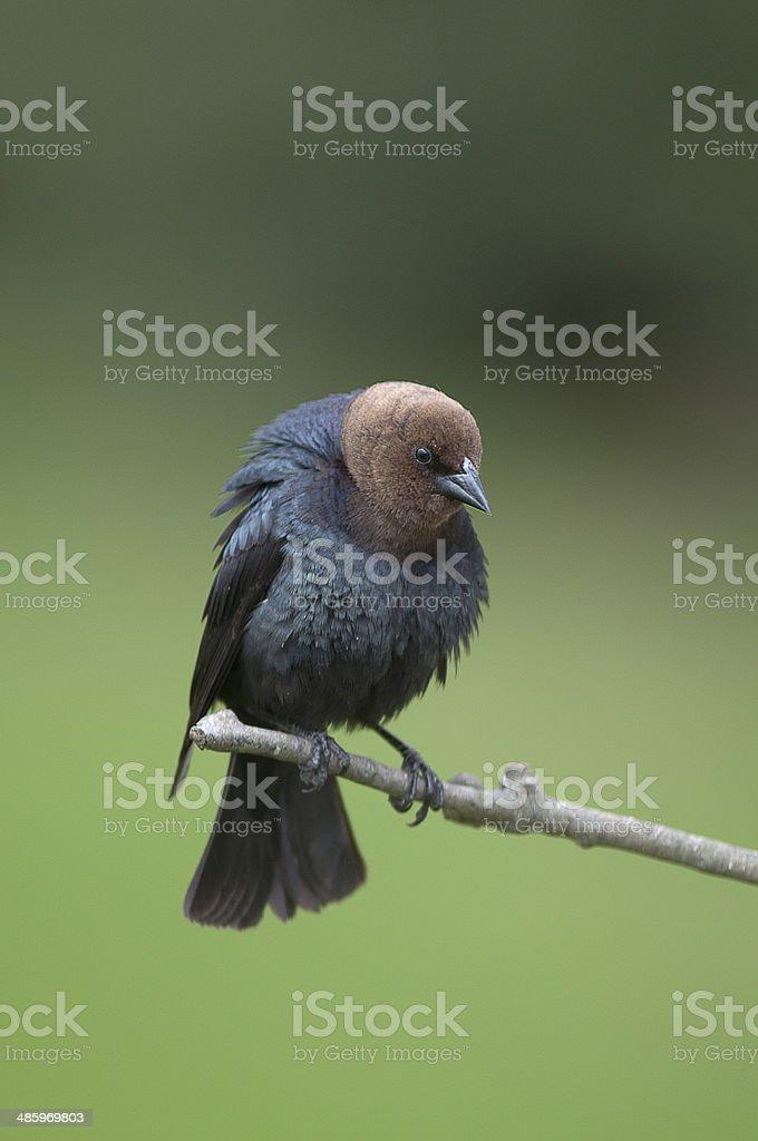 Ruffled up Brown-headed cowbird stock photo