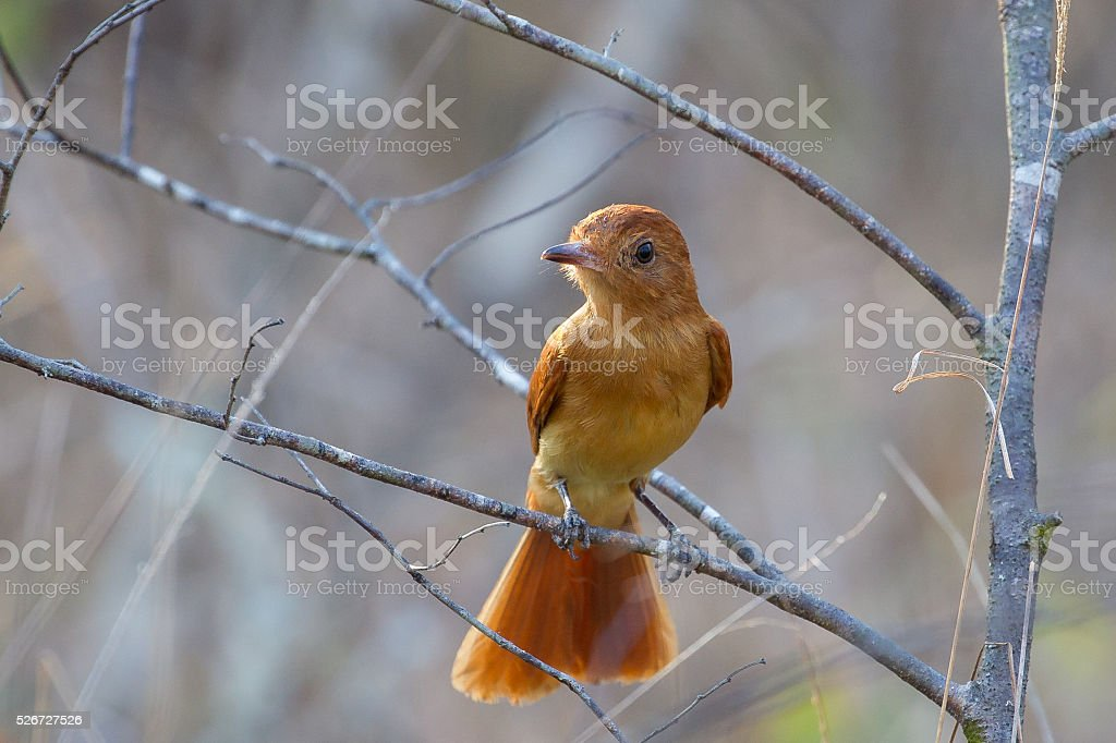 Rufous Casiornis  perched on a branch stock photo