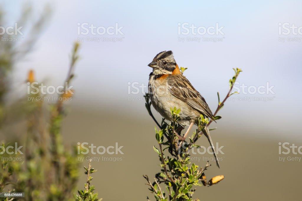 Rufous collared sparrow perching on a branch, Colca Canyon stock photo
