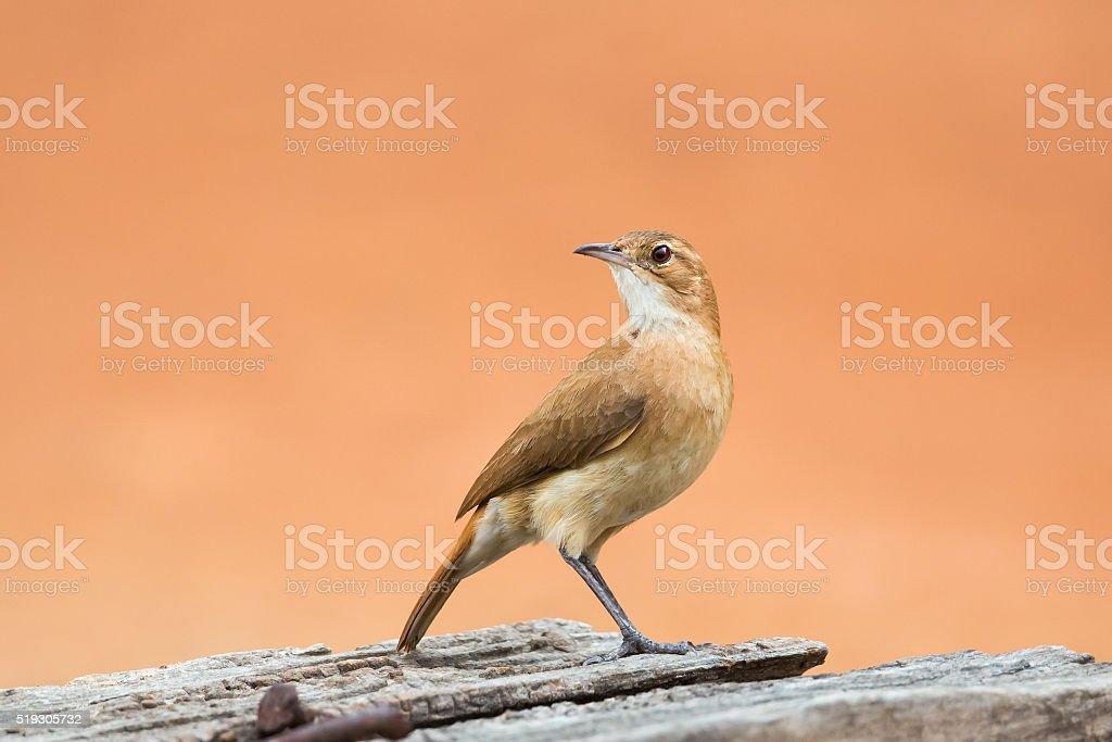 Rufous Hornero perched stock photo
