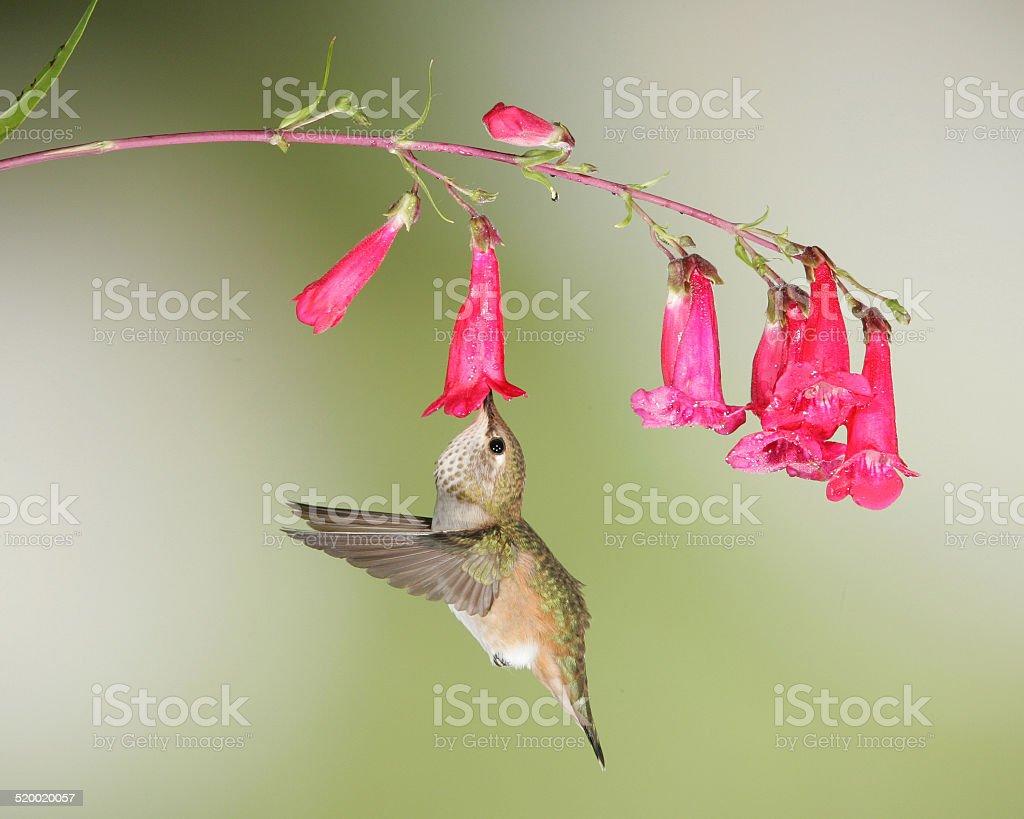 Rufous hummingbird at penstemon stock photo