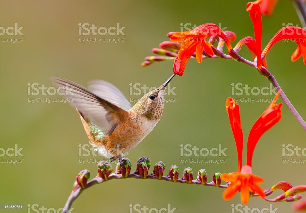 Rufous Hummingbird feeding on Crocosmia Flower stock photo