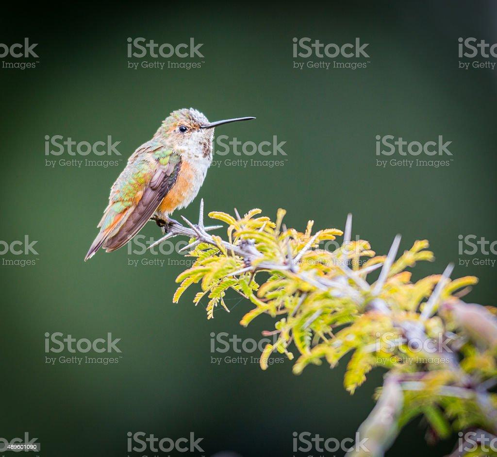 Rufous Hummingbird Female. stock photo