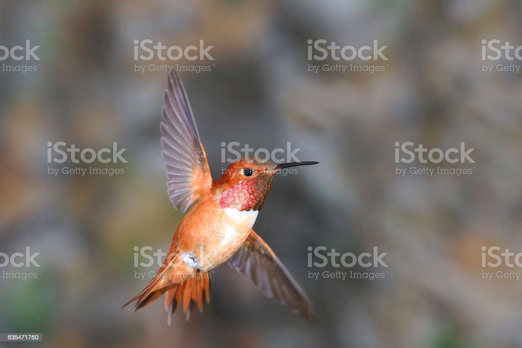 Rufous Hummingbird in Flight - Male;  Canada stock photo