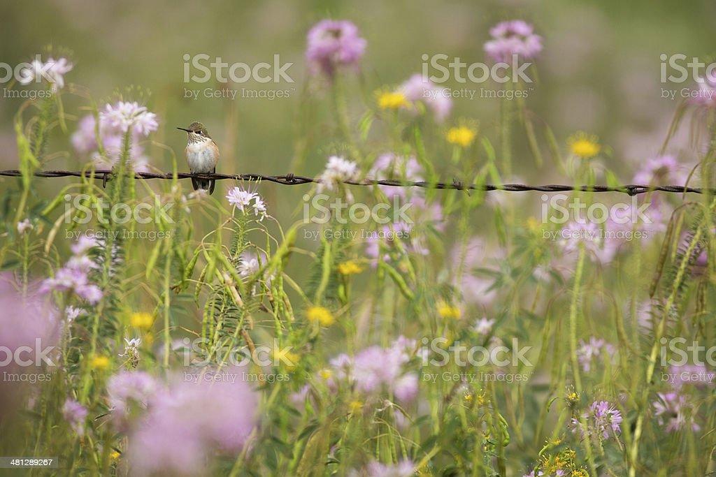 Rufous Hummingbird in Wildflowers stock photo