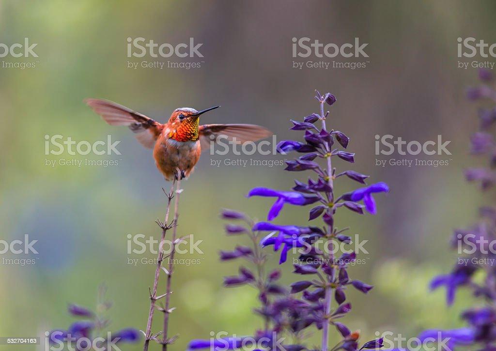 Rufous Hummingbird Male. stock photo