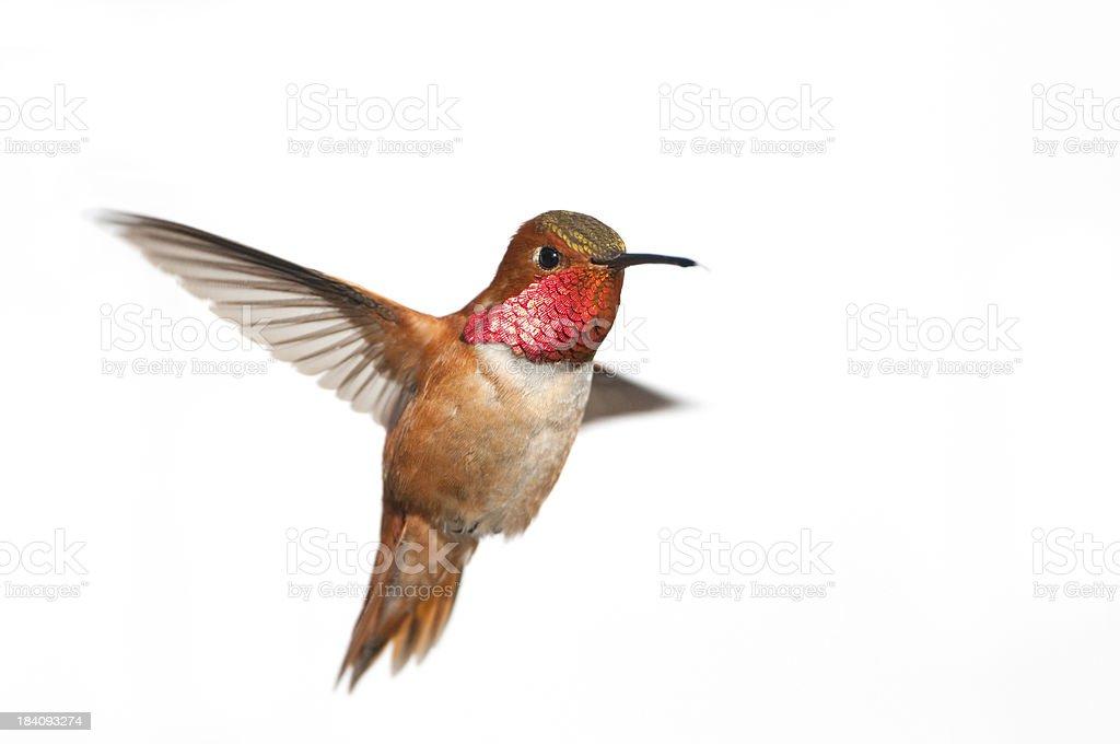 Rufous Hummingbird Male - White Background royalty-free stock photo