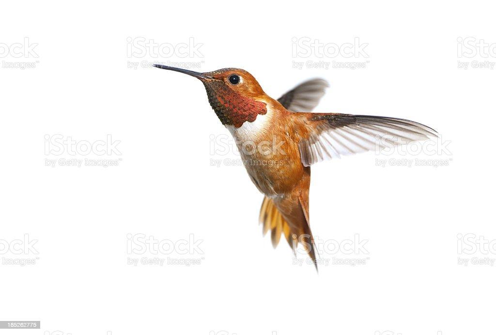 Rufous Hummingbird Male - White Background stock photo