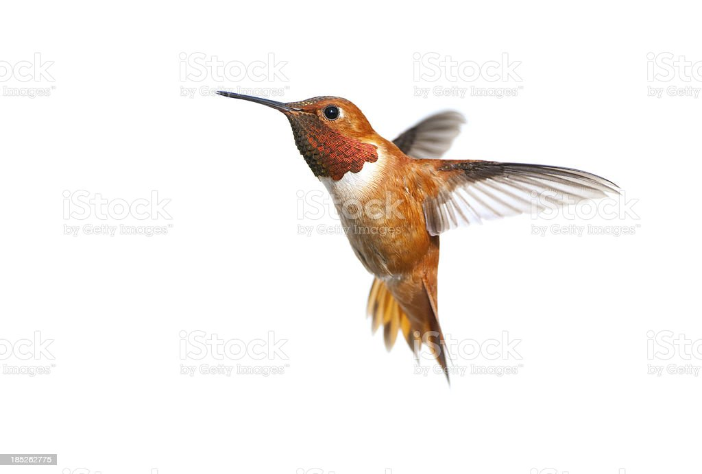 Rufous Hummingbird Male - White Background stock photo