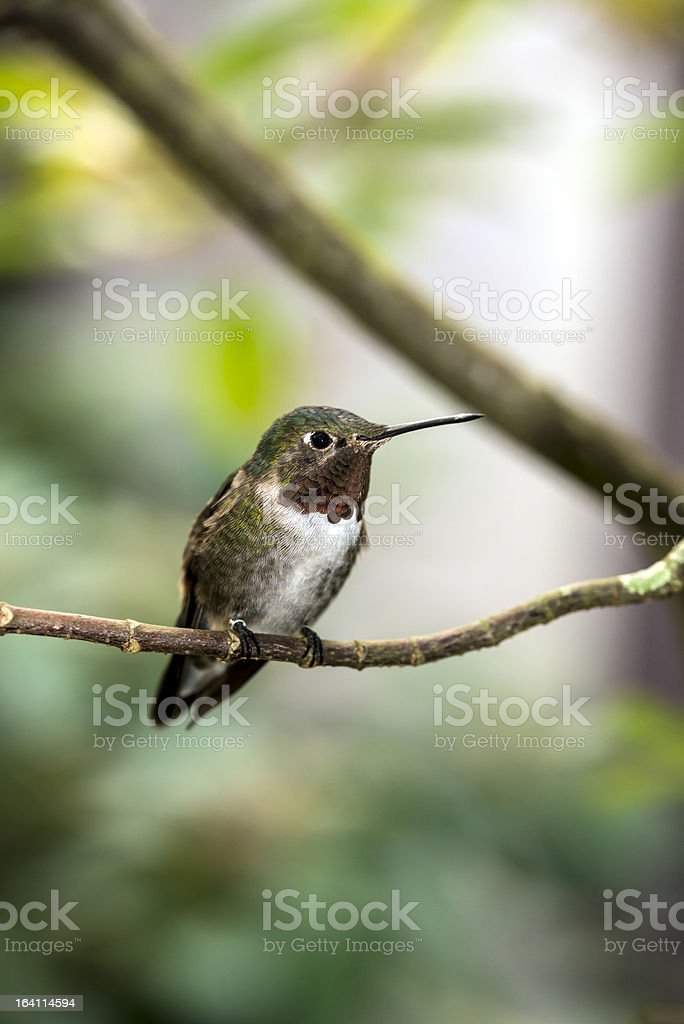Rufous Hummingbird (Selasphorus rufus) royalty-free stock photo