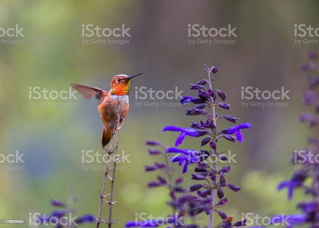 Rufous Hummingbird. stock photo
