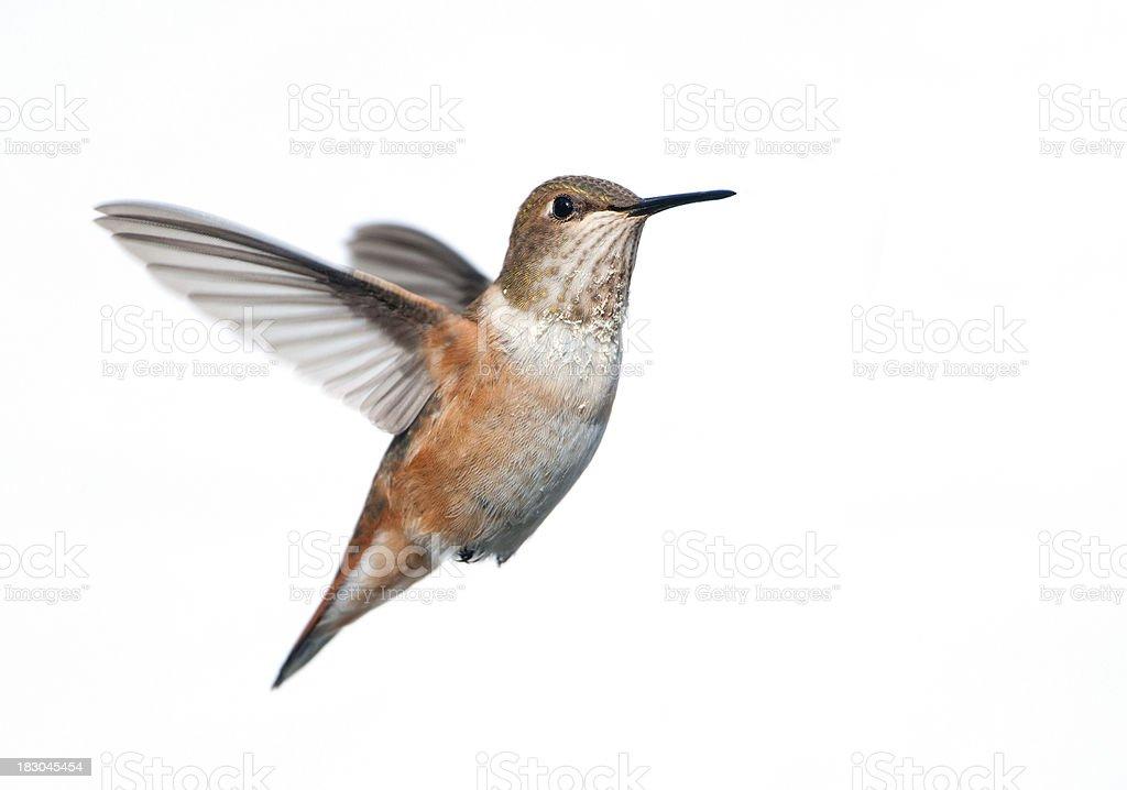 Rufous Hummingbird - White Background Isolated royalty-free stock photo