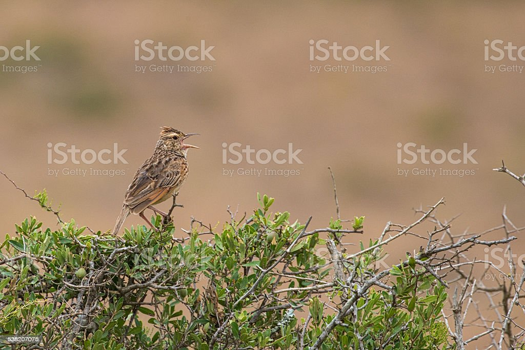Rufous Naped Lark (Mirafra africana) Singing stock photo