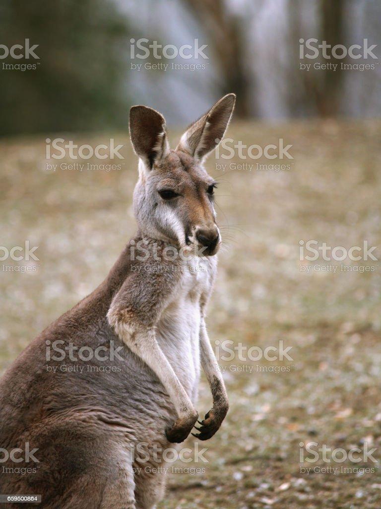 Rufous rat kangaroo stock photo