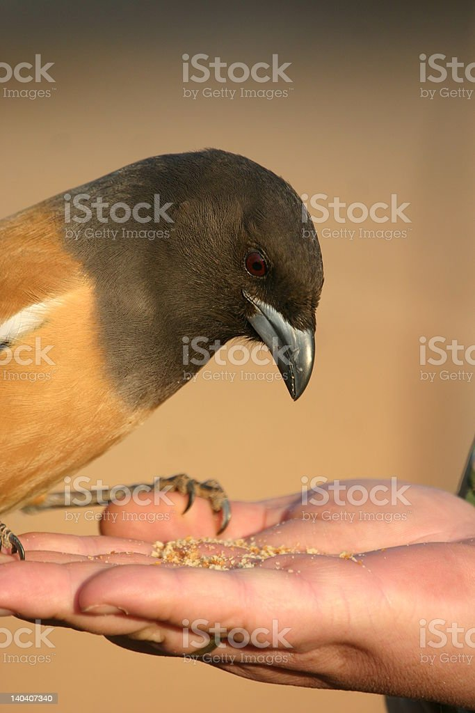 Rufous treepie eating from a hand royalty-free stock photo