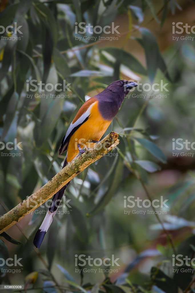 Rufous Treepie(Dendrocitta vagabunda) stock photo