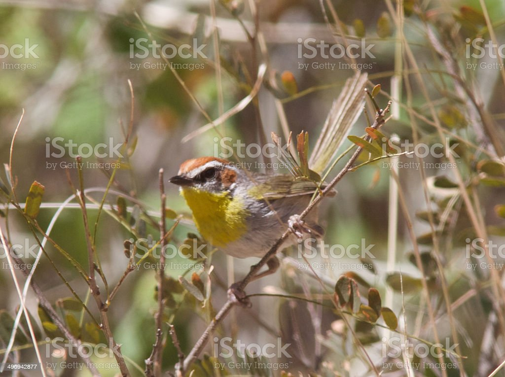 Rufous-capped Warbler stock photo