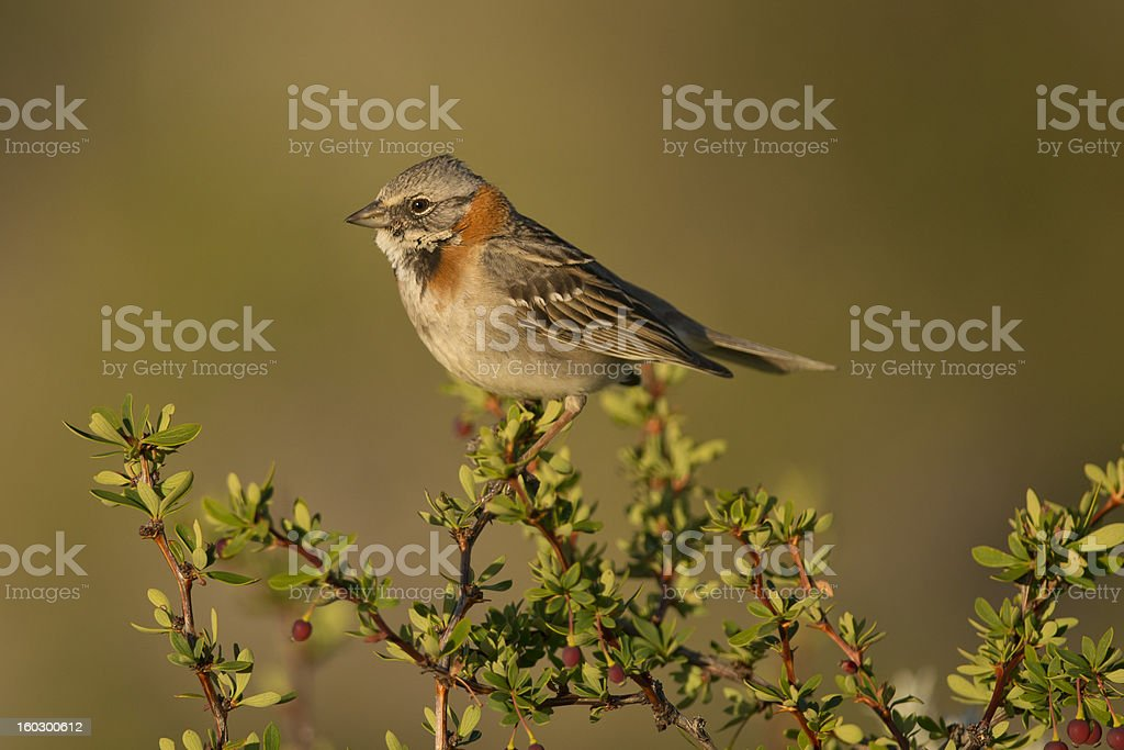 Rufous-collared Sparrow on a Branch royalty-free stock photo