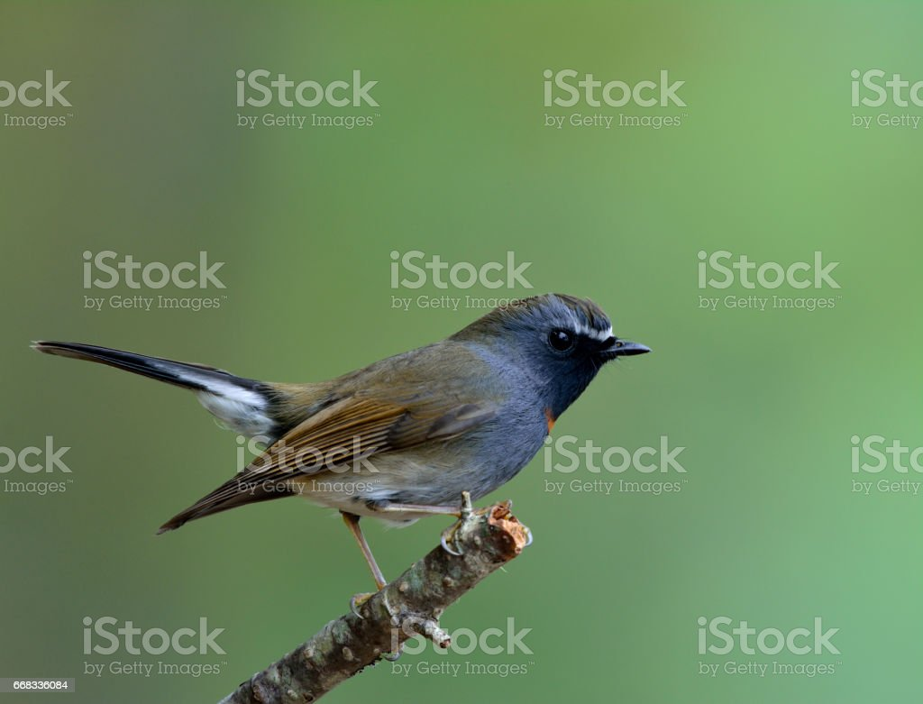 Rufous-gorgeted Flycatcher stock photo