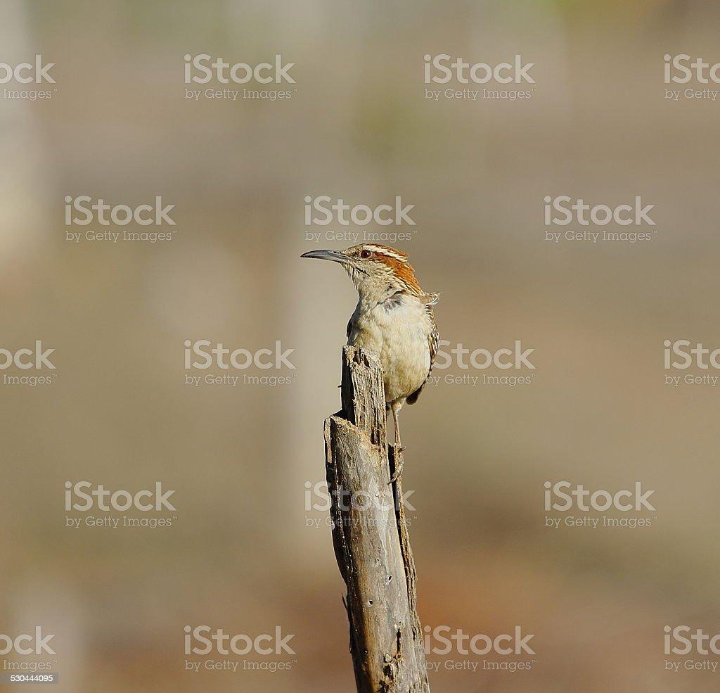 Rufous-naped Wren. stock photo