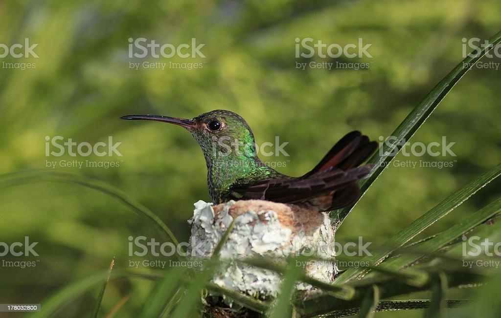 Rufous-tailed Hummingbird Sitting on it's Nest stock photo