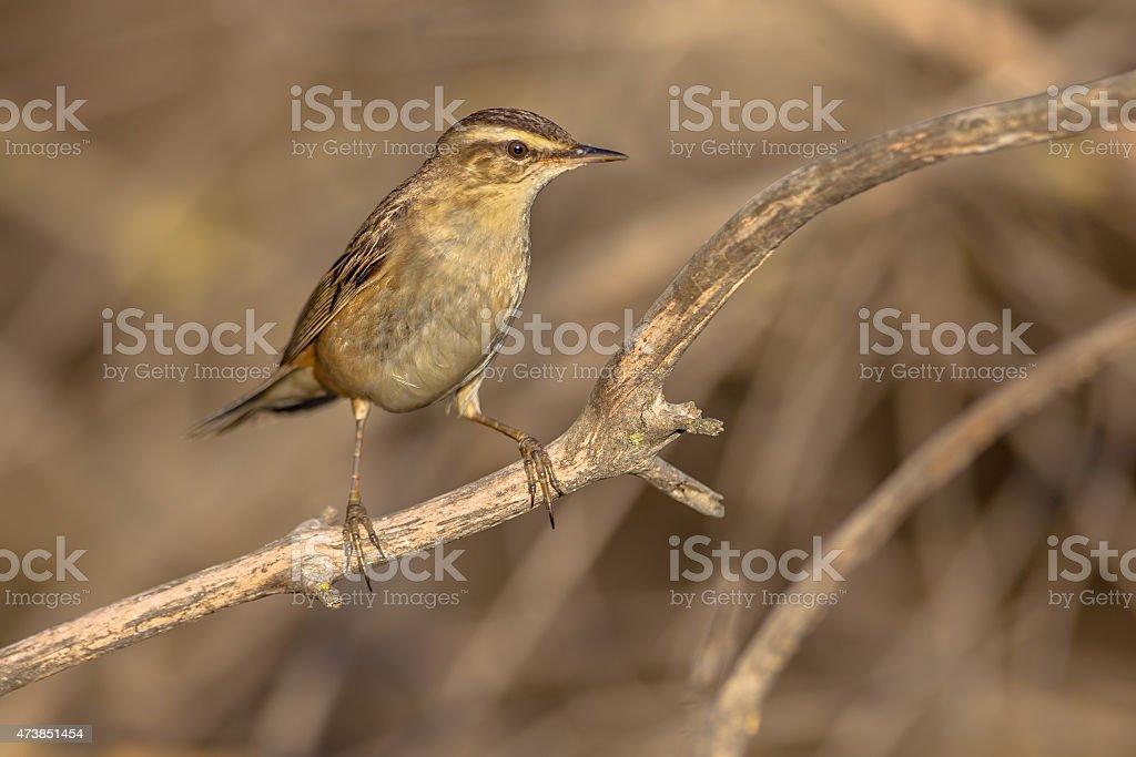 rufous-tailed scrub robin stock photo