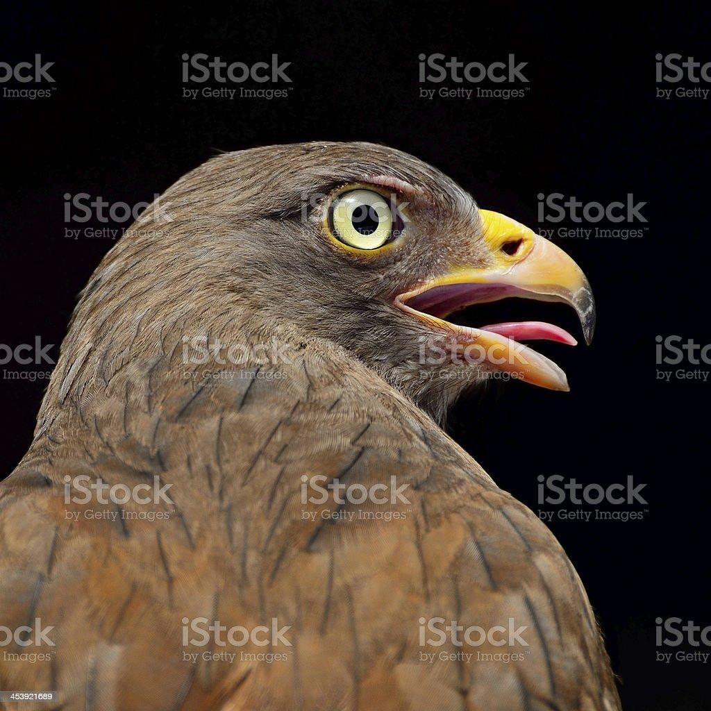 Rufous-winged Buzzard royalty-free stock photo