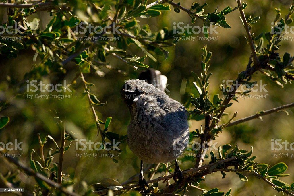 Rufuos-tailed weaver stock photo