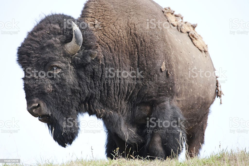 Rugged and huge American Bison. stock photo
