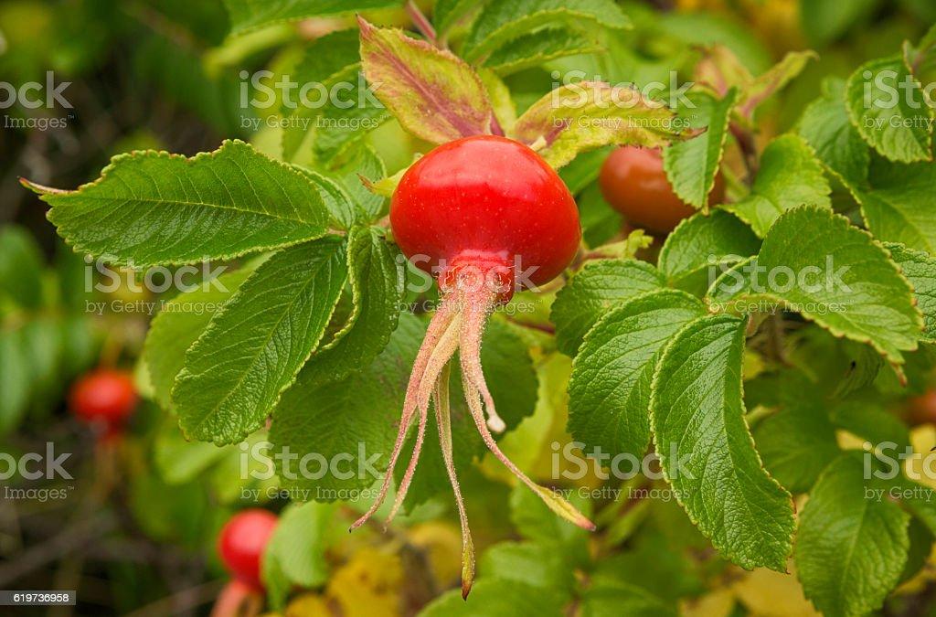 Rugosa Rose, Rose Hip, Lofoten, Norway stock photo