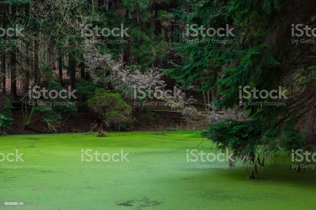 Ruhiger Teich bedeckt mit Entengrütze stock photo