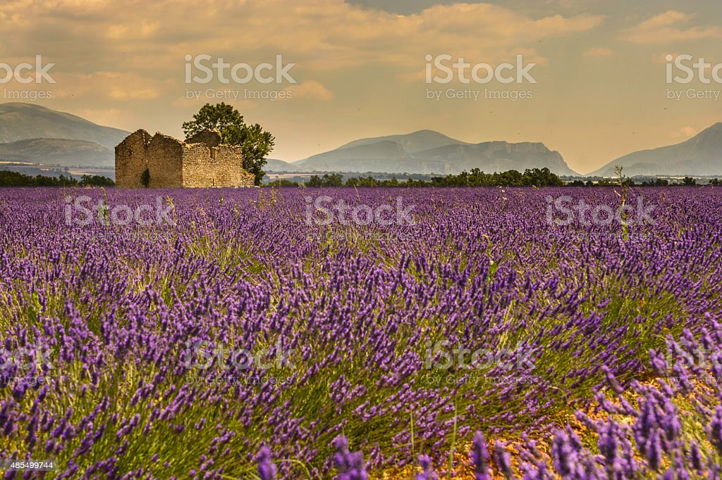 Ruins in the middle of a lavender field Verdon gorge stock photo