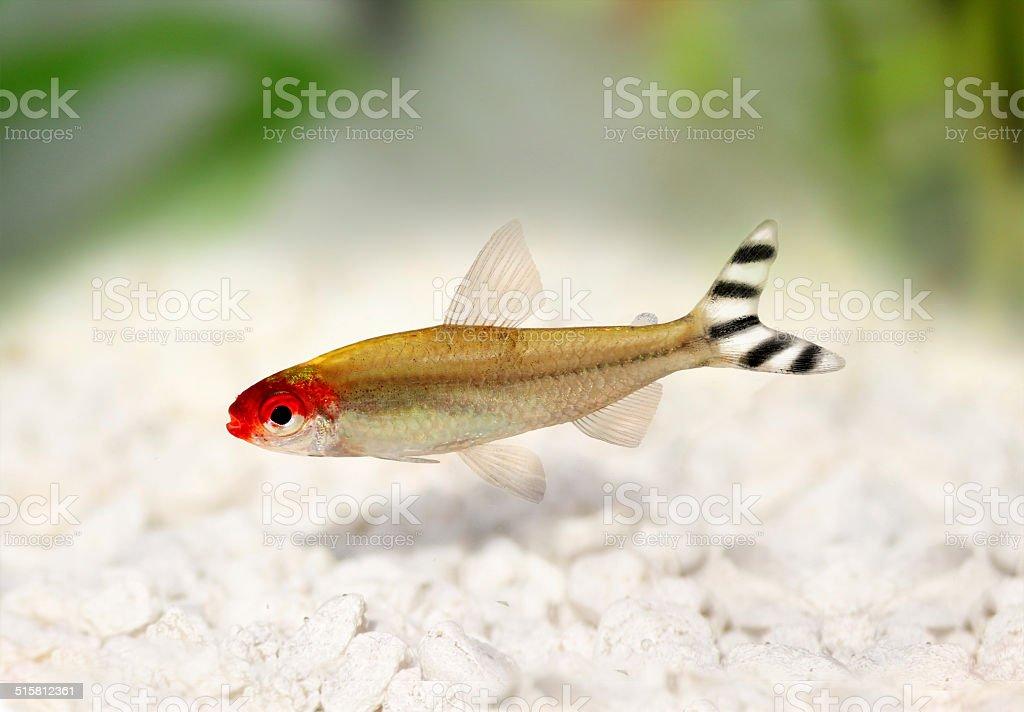 Rummy-nose Tetra Hemigrammus rhodostomus bleheri freshwater aquarium fish stock photo