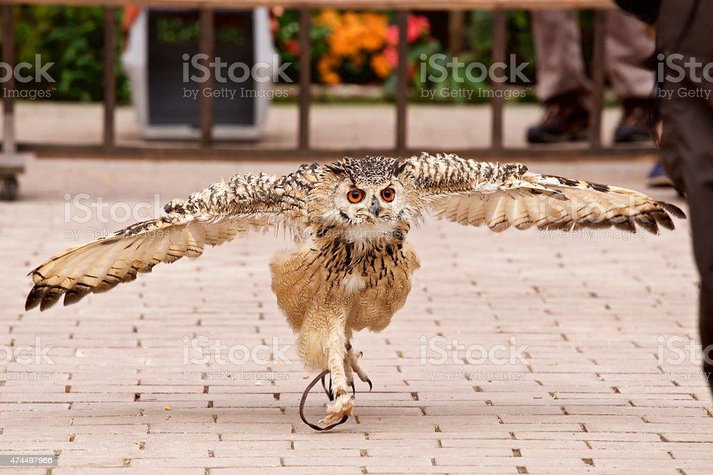 Run up owl stock photo