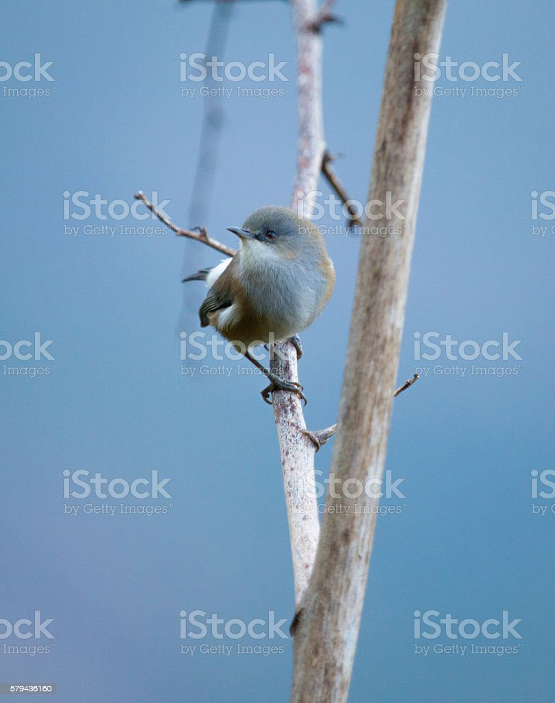 Réunion grey white-eye stock photo