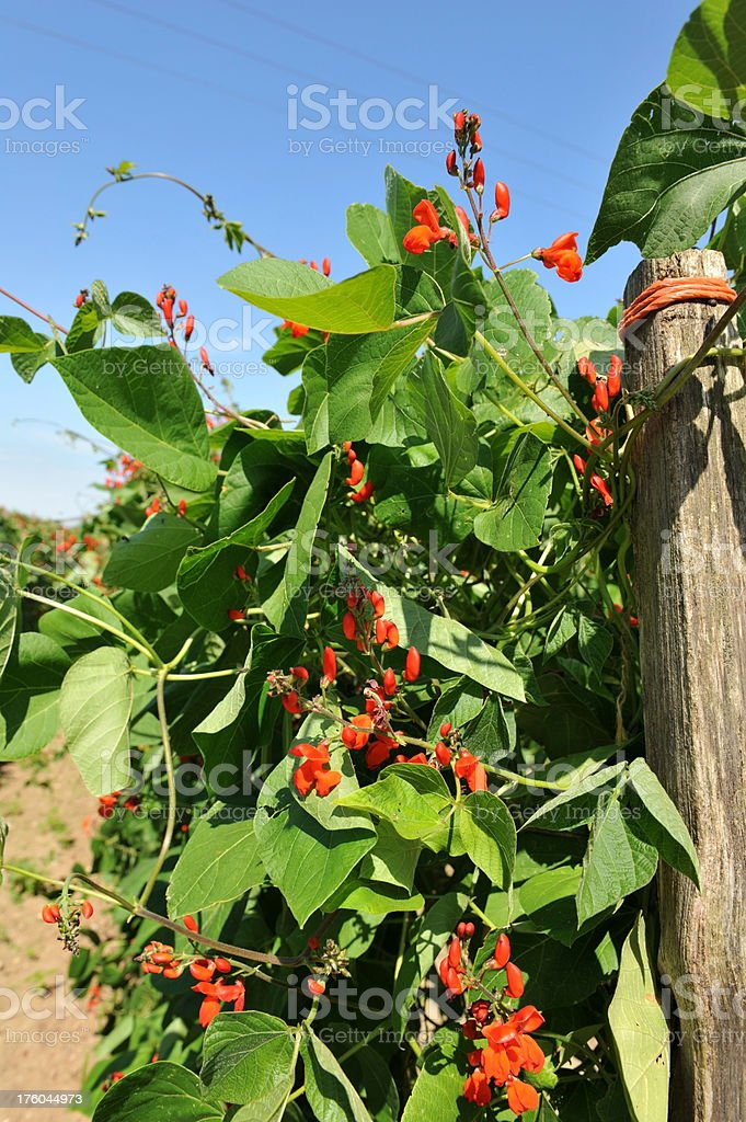 Runner bean plants tied to a wooden support post. stock photo