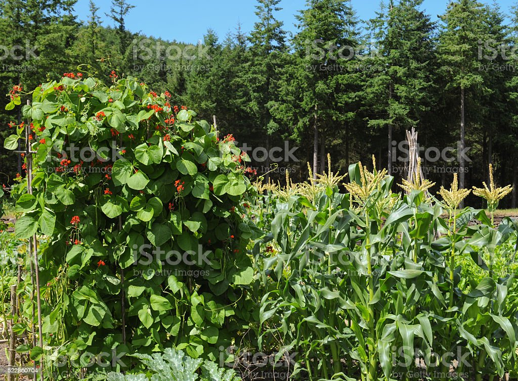 Runner Beans (Phaseolus coccineus) and Maize (Zea mays) stock photo