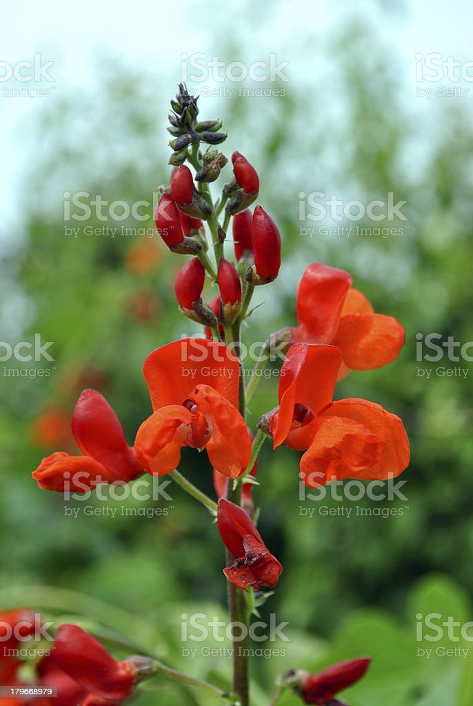 Runner beans flowers stock photo